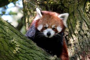 red Panda, Animals