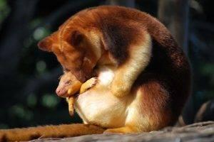 kangaroos, Animals, Baby Animals