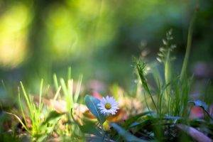 Chamomile, Plants, Flowers, Grass, Bokeh, Daisies, Nature
