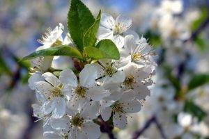 white Flowers, Blurred, Spring, Flowers, Nature