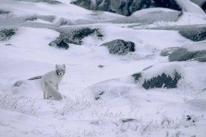 nature, Winter, Snow, Animals, Landscape, Arctic Fox, Camouflage, Stones, Plants, Frost, Canada