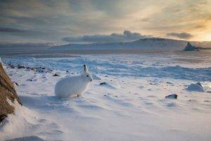 winter, Nature, Landscape, Animals, Rabbits