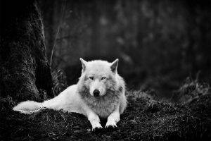 wolf, Forest, Monochrome, Nature