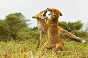 nature, Forest, Fox Cubs