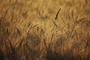 photography, Plants, Nature, Field, Wheat, Depth Of Field
