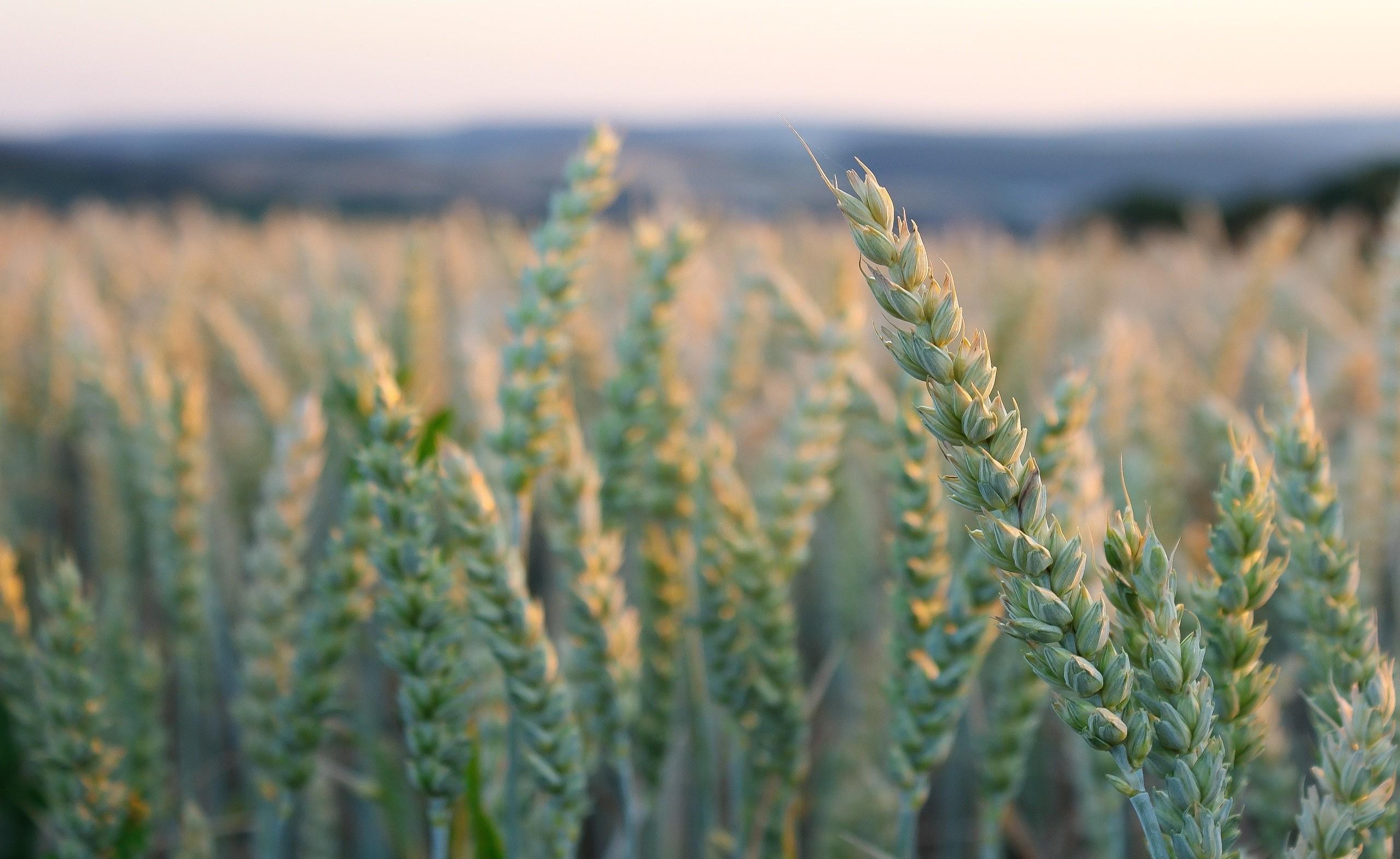 nature macro plants wheat field