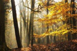 landscape, Nature, Sunlight, Fall, Leaves, Forest, Mist, Yellow, Trees