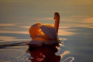 birds water swans sunlight