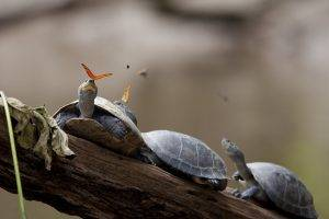 tears nature animals turtle branch butterfly leaves ecuador drink depth of field