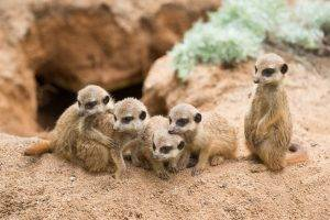 animals mammals meerkats