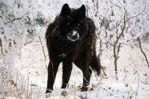 wolf animals snow