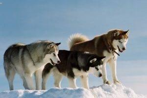 dog snow alaskan malamute