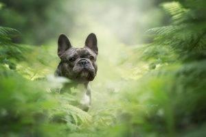 looking at viewer photography nature dog plants pet animals black bulldog french bulldog