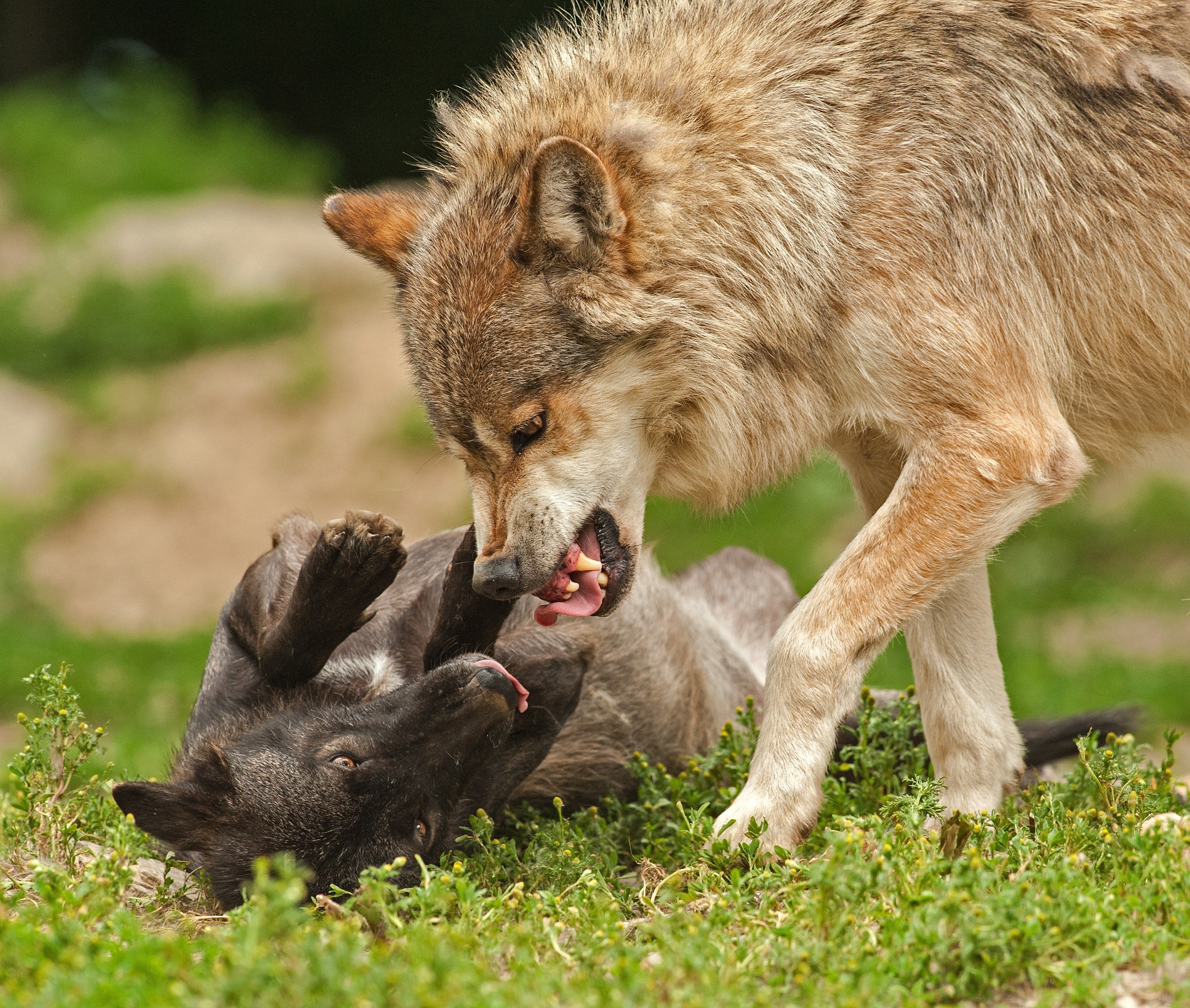 Nature Wolf Dog Wildlife Wallpapers HD / Desktop And