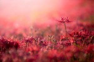 plants, Flowers, Red flowers, Bokeh, Depth of field