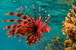 animals, Fish, Underwater, Red lion fish
