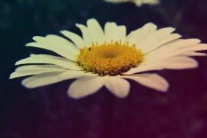 macro, Flowers, Chamomile