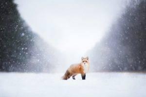 landscape, Animals, Fox