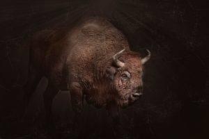 bison, Animals