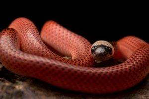 Black Collared Snake, Snake, Animals, Reptiles