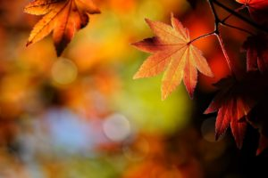 macro, Depth of field, Leaves, Maple leaves, Bokeh, Fall