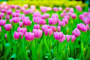 colorful, Tulips, Flowers, Plants