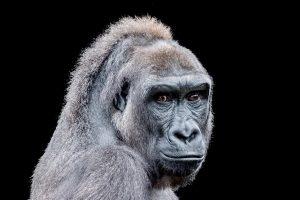 animals, Apes