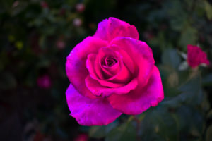 rose, Pink roses, Pink flowers, Flowers, Plants, Closeup, Garden