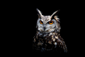 dark, Owl, Birds, Animals