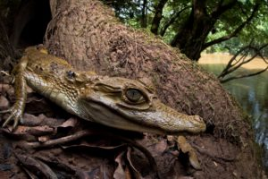 animals, Reptile, Crocodile, Nature
