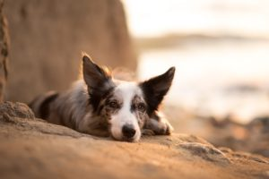 dog, Animals, Border Collie
