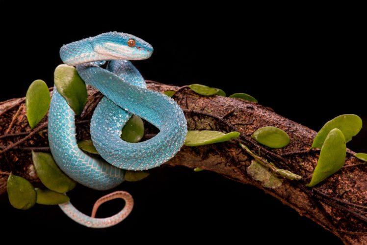 branch, Snake, Leaves, Reptiles HD Wallpaper Desktop Background
