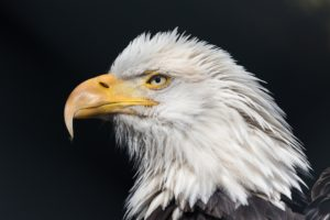 profile, Eagles, Birds, Animals