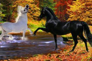 horses, Black, Playfulness, Couple, River, White, Two, Autumn, Stallion