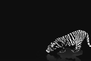 cats, Animals, Tigers, White, Tiger, Reflections, Black, Background