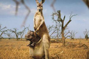 kangaroo, Marsupial, Hippo