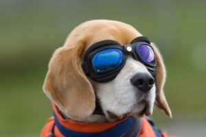 dog, Beagle, Glasses, Animals