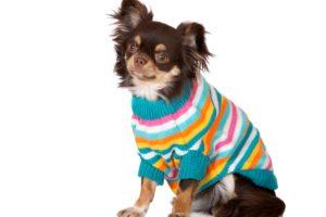 dog, Chihuahua, Uniform, White, Background, Animals