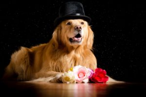 dogs, Roses, Retriever, Hat, Glance, Black, Background, Animals, Wallpapers