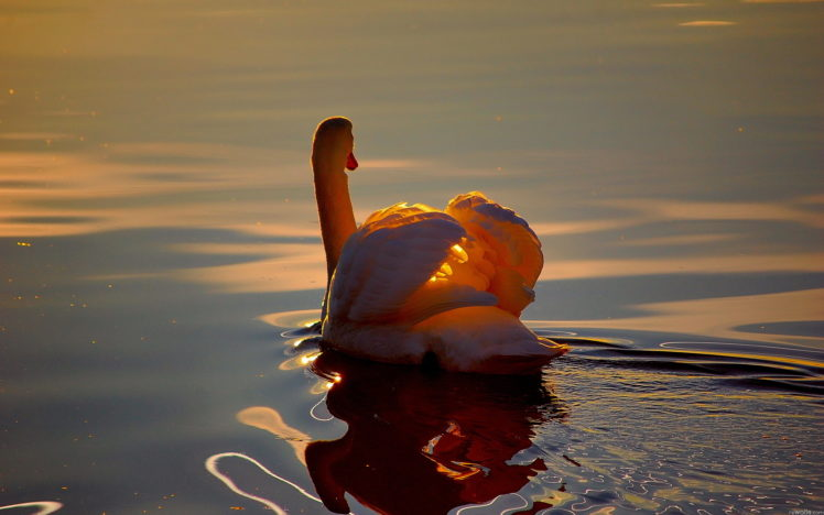 swans, Animals, Birds, Feathers, Lakes, Ponds, Water, Ripple, Reflection, Shine, Sunlight, Wings, Wildlife HD Wallpaper Desktop Background