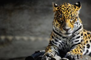 animals, Cats, Leopards, Spots, Fur, Face, Eyes, Whiskers, Predator