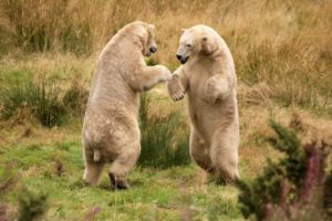 animals, Nature, Predator, Polar, Bears, Grass, Fight, Play, Paws, Grass, Fields, Alaska, Fur