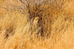 leopard, Savannah, Animals, Cats, Wildlife, Predator, Africa, Grass, Landscapes, Camo, Spots, Fields