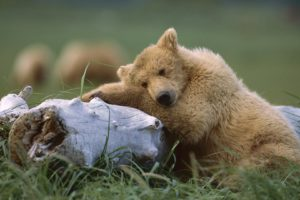 animals, Alaska, Grizzly, Bears, Sleeping, Bears, National, Park