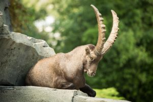 artiodactyl, Stones, Capra, Ibex, Horns, Animals, Goat, Sheep