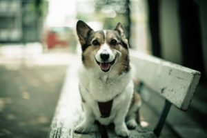 animals, Photography, Dogs, Bench, Corgi, Depth, Of, Field, Pets