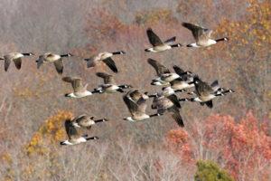 geese, Goose, Autumn, Fall