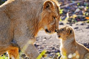 animals, Cubs, Lions, Baby, Animals