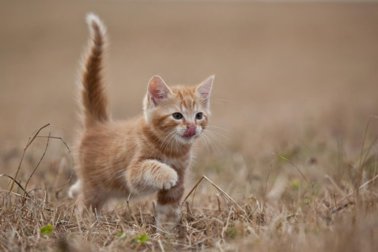red, Animal, Cat, Kitten Wallpapers HD