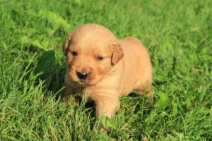 puppies, Puppy, Baby, Dog, Dogs,  54